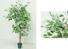Ficus 1.5m - Tekokukat - 106832 - 1