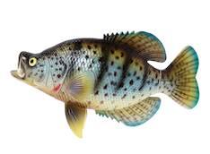 Kala 25cm - Piensisustaminen - 139853 - 1