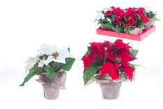Joulutähti 3-kukan punainen/valkoinen 23cm - Jouluun valot,koristeet,tekstiilit - 144638 - 1